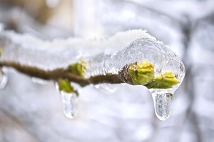 The buds of the tree frozen in ice