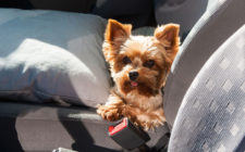 Ensure Your Pets are Ready for a Road Trip with These Tips for Traveling with Pets
